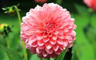 Flower symbolising Red Rose Care